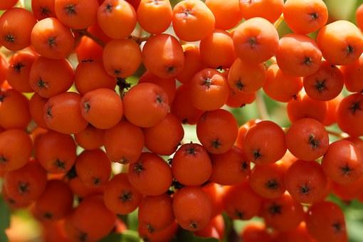 petits fruits rond  en grappes de sorbier de couleur rouge et orange