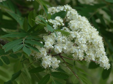 white star-shaped Rowan flowers in the form of stars