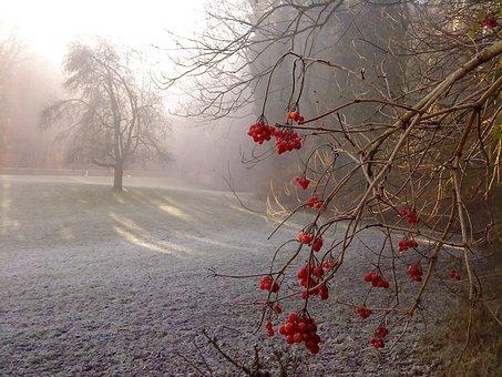 arbres sous la neige portant des baies rouges