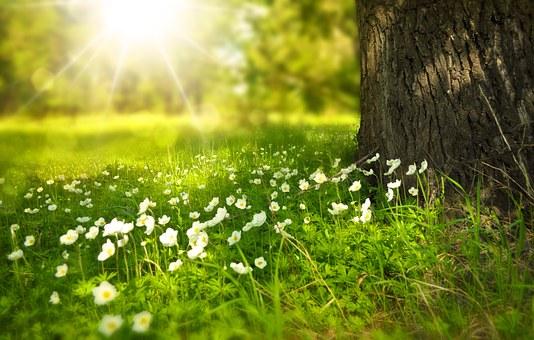 soleil printanier sur fleurs blanche sous un arbre