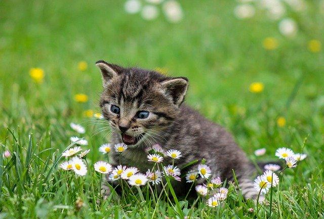 chaton qui découvre les fleurs des champs