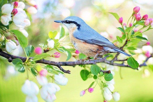 oiseau bleue sur une branche fleurie